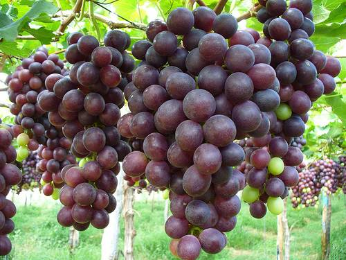 uva borgomanero